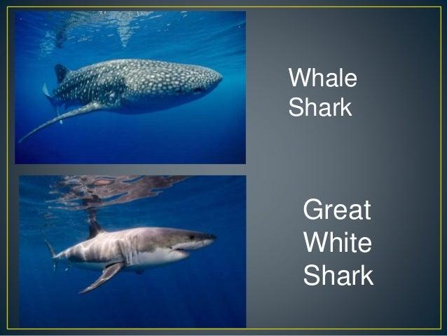 Blue Whale Finback Whale