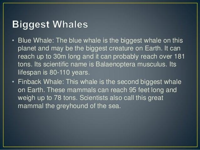 Whale Shark Great White Shark