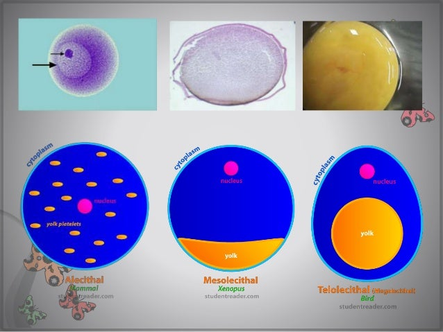 human eggs are microlecithal