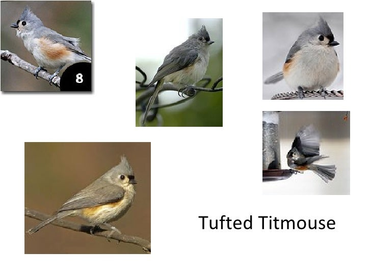 Bird identification house finch 9 tufted titmouse sciox Images