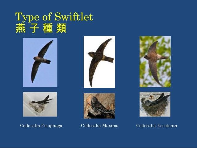 Type of Swiftlet  燕 子 種 類  Collocalia Fuciphaga Collocalia Maxima Collocalia Esculenta