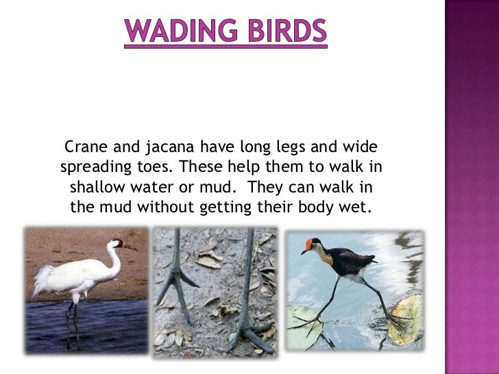 Some birds like hen have strong feet with three toes in front and one at the back. Each toe has a sharp claw to scratch th...