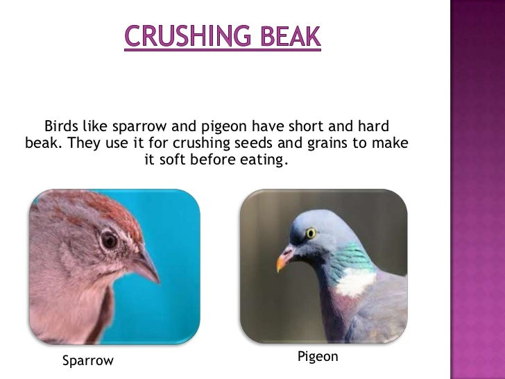 Birds like parrot have curved beak for        cracking nuts and fruits.