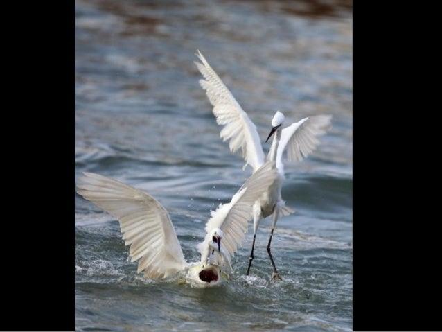 马 林 湿 地 精 灵 黄 嘴 白