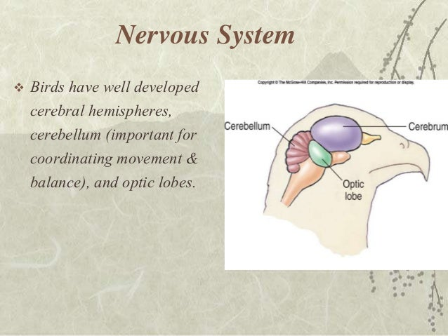 bird nervous system diagram images how to guide and refrence