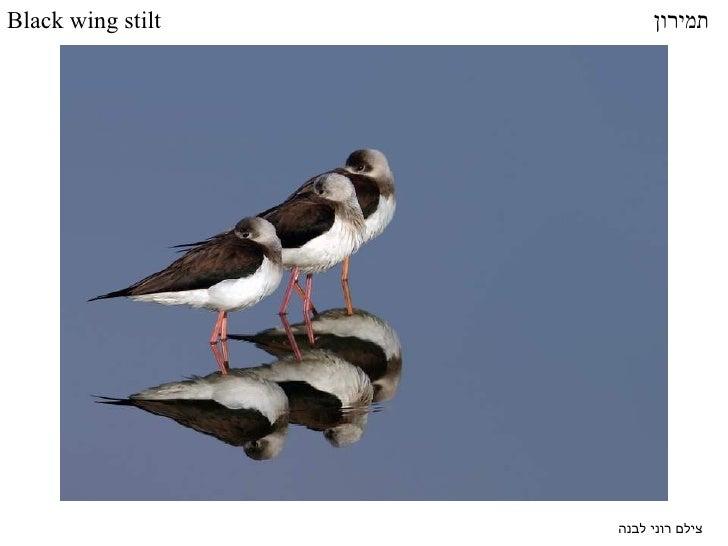 צילם רוני לבנה תמירון Black wing stilt