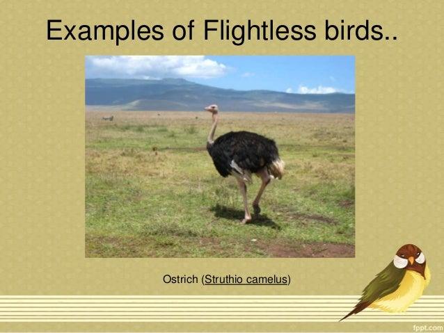 Flightless birds and Migration of birds Slide 3