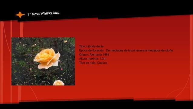 Cordyline terminalis *Pertenece a la familia de los agavaceae *Origen: Trópico de Asia *Sus hojas son de 30-6 cm de longit...