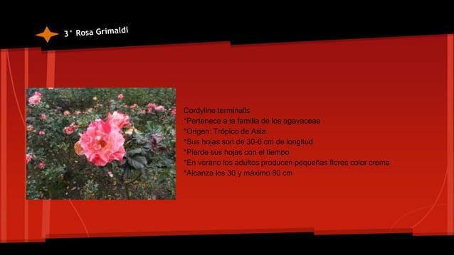 *Origen Centro ,Sur America *crecen de 1 a 7 m *Producen inflorescencia al final de cada tallo y en la base de la planta *...