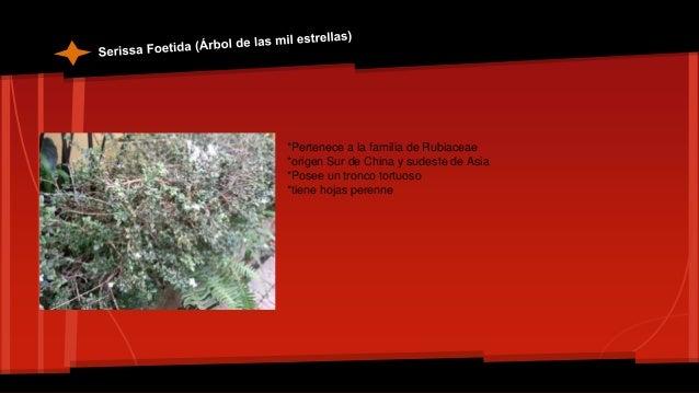 *Pertenece a la familia de las nyctaginaceae *Es de origen Brasileño *Es una trepadora que forma su tronco con los años *S...
