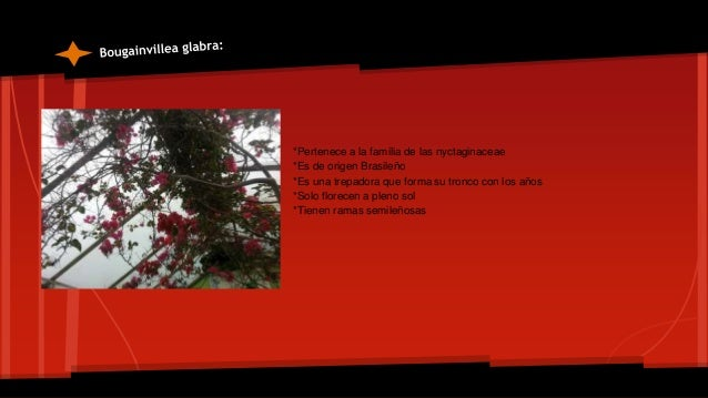*Pertenecen a la familia de las poaceae *Proviene del sureste asiático *Tiene un tallo macizo de 2 a 5 m de altura con 5 o...