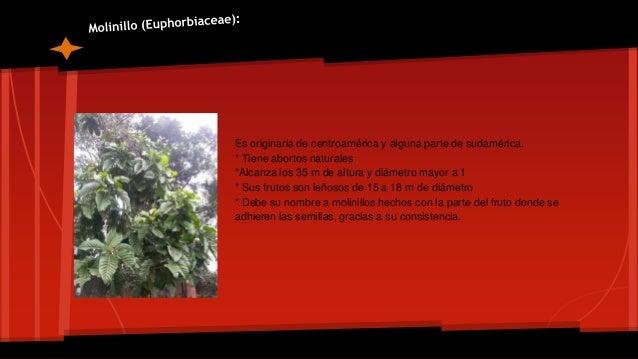 Es un árbol representativo de la zona intertropical americana, crece comúnmente en climas cálidos aunque también puede cre...