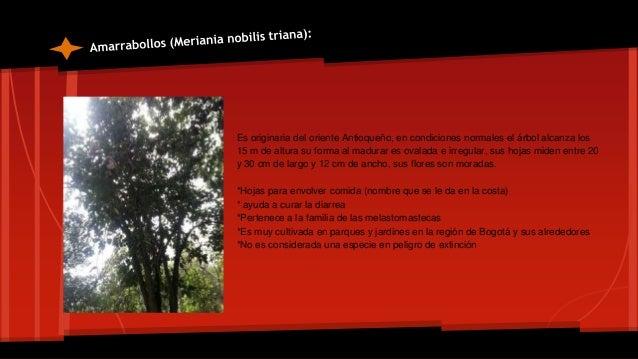 """Este árbol es fácil de reconocer por la forma de sus hojas que son como manos abiertas, por ello es también denominado """"el..."""