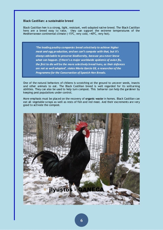 Black Castilian Hen Ganeca 2015 The Chicken Of Cristopher Columbus