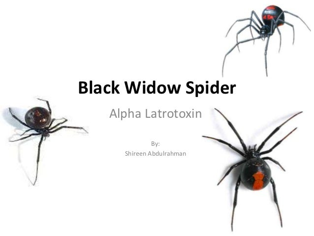 Black Widow Spider   Alpha Latrotoxin              By:     Shireen Abdulrahman