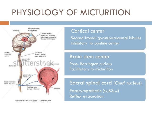 Bladder innervation, physiology of micturition