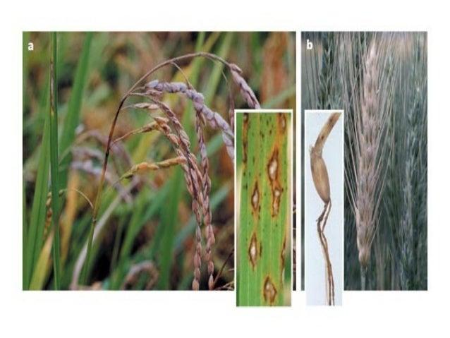 Systemic Position Kingdom – Mycota/ Fungi Division – Eumycota Sub division – Deuteromycotina Class – Hypomycetes Order – H...
