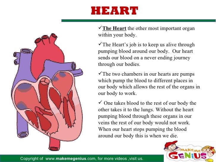 Major organs in human body heart ccuart Images