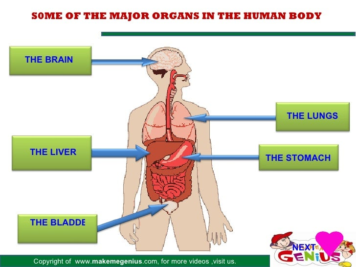 Major Organs In Human Body
