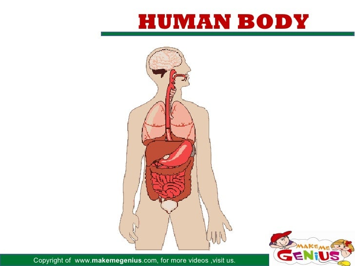 HUMAN BODYCopyright of www.makemegenius.com, for more videos ,visit us.