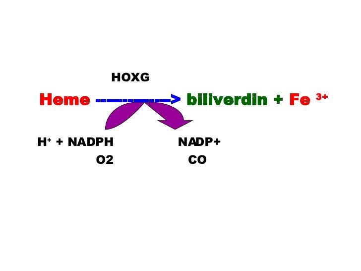 <ul><li>  HOXG  </li></ul><ul><li>Heme  -------------->  biliverdin +  Fe  3+   </li></ul><ul><li>H +  + NADPH  NADP+  </l...
