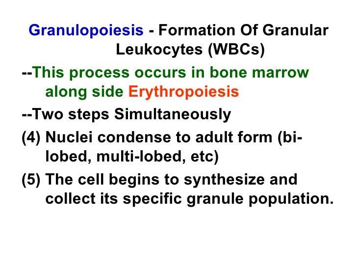 <ul><li>Granulopoiesis  - Formation Of Granular Leukocytes (WBCs) </li></ul><ul><li>-- This process occurs in bone marrow ...