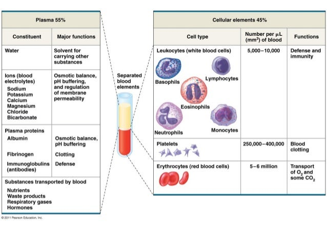 Anatomy & Physiology Lecture Notes - Blood