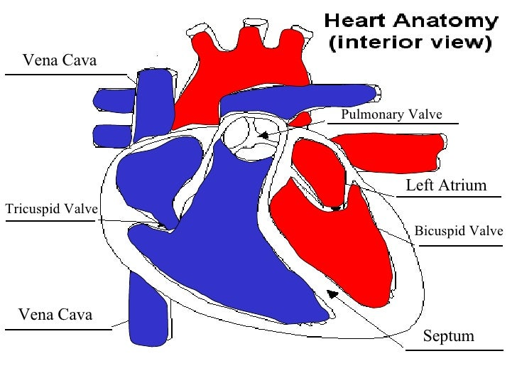 Cartoon arteries diagram search for wiring diagrams blood flow animation rh slideshare net blood diagram heart arteries diagram ccuart Gallery