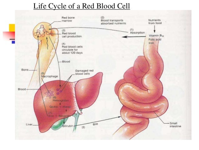 Physiology Of Blood