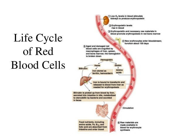 Red Blood Cell Life Cycle Diagram Complete Wiring Diagrams
