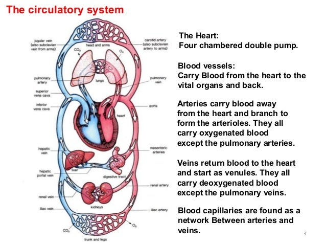 Chemistrywebsite tumblr moreover Human Homeostasis Ex les Homeostasis Ex les In The Human Body Cbrx 2 moreover The Human Circulatory System 14966236 further Module Questionchaptertransport as well Arteries And Veins Of The Hand And Arm. on human circulatory system arteries and veins