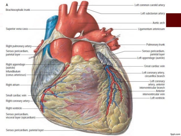 Blood supply and conducting system of heart