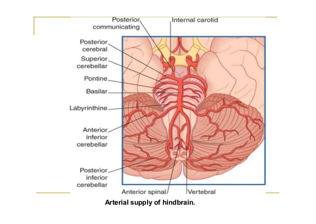 Blood supply of the brain posterior cerebral artery course 22 ccuart Images