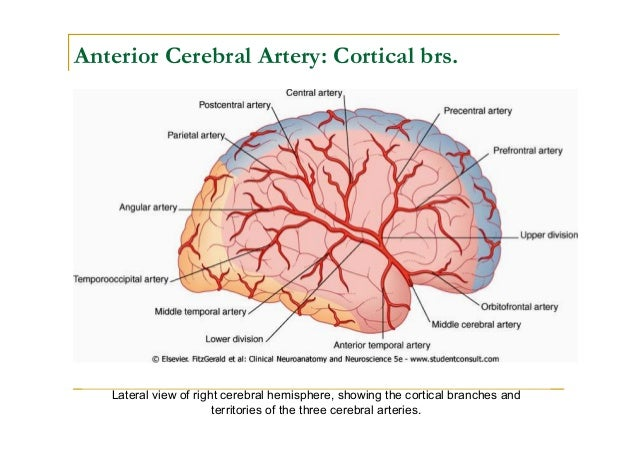 Middle Cerebral Artery Diagram All Kind Of Wiring Diagrams