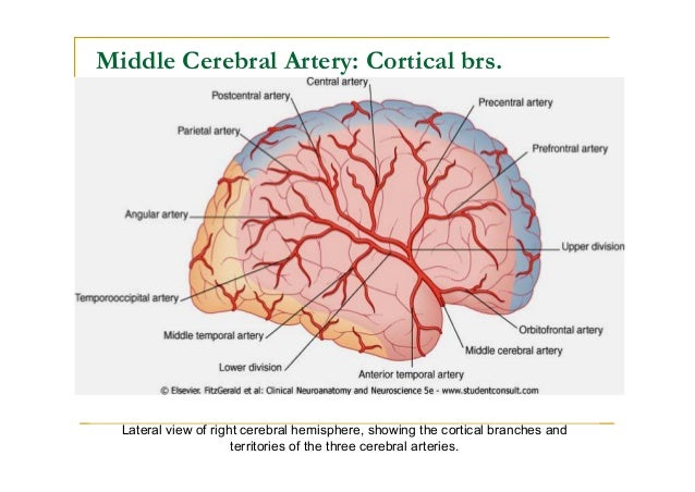 Blood supply of the brain middle cerebral artery important functional areas supplied by the cortical brs 57 ccuart Gallery
