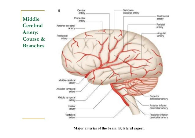 Diagram of cerebral vessels online schematic diagram blood supply of the brain rh slideshare net major vessel to brain brain blood vessel diagram ccuart Gallery