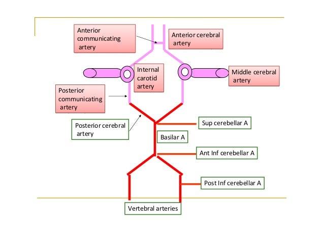 flow chart blood supply of brain: Flow chart blood supply of brain circulatory pathways anatomy