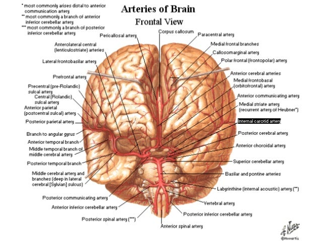 Blood Supply Of The Brain