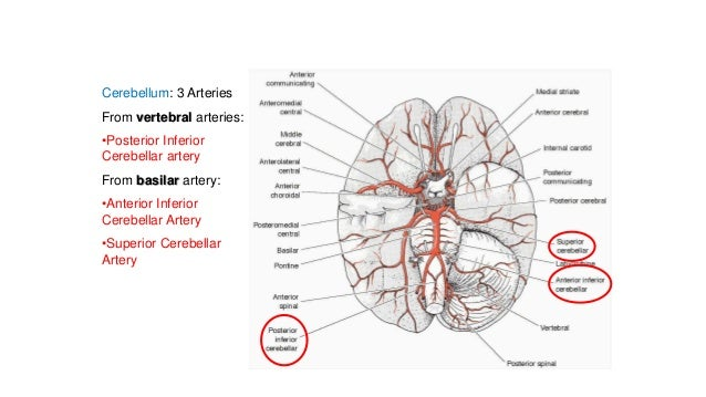 Blood supply of the brain & spinal cord cns-
