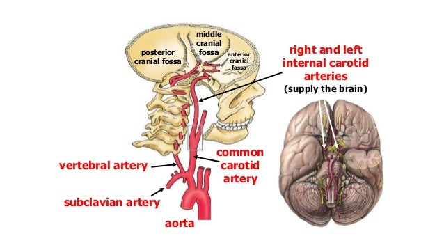 Blood Supply Of The Brain Spinal Cord Cns