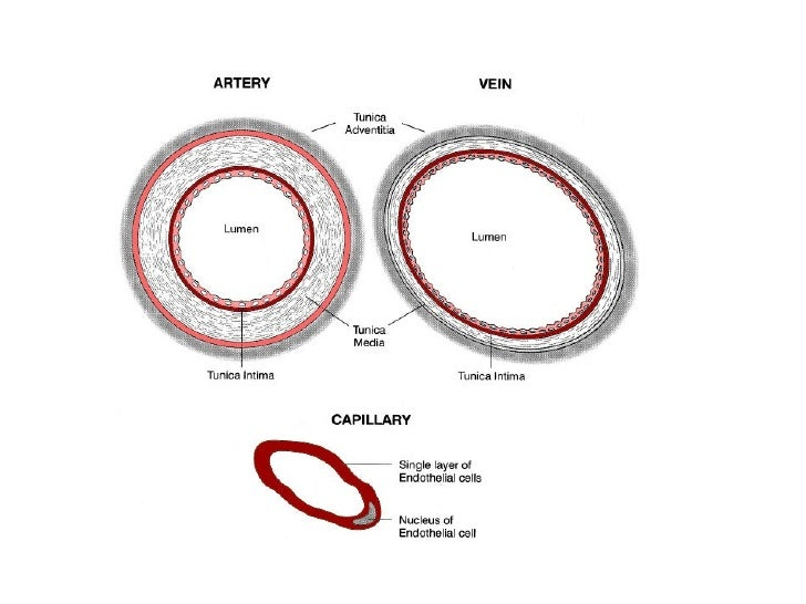 compare arteries veins and capillaries in This site might help you re: compare and contrast the structure and function of the three types of blood vessels: arteries, veins and capillaries.