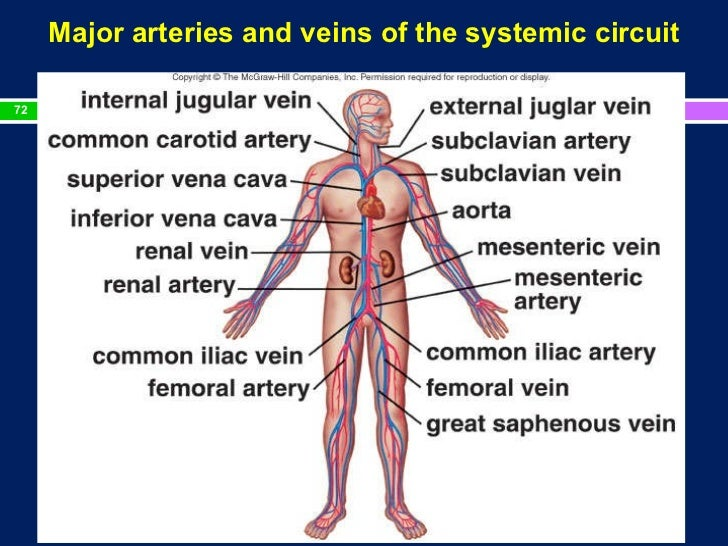 important arteries and veins
