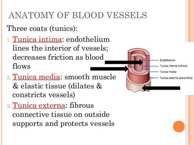 Anatomy Physiology Lecture Notes Blood Vessels Circulation
