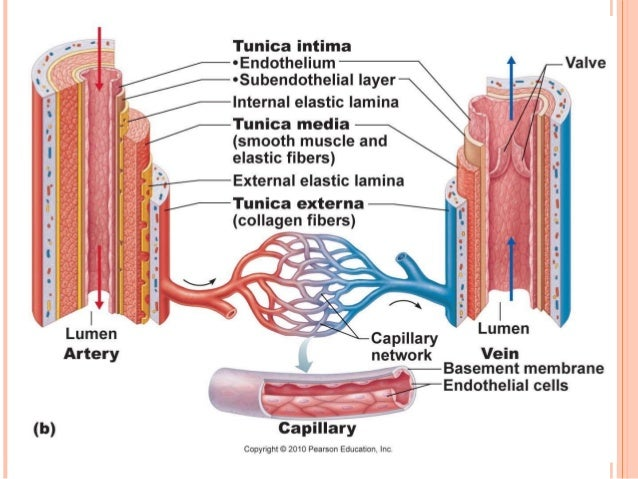 Anatomy & Physiology Lecture Notes - Blood vessels & circulation