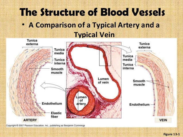 Blood Vessels Of Head And Neck