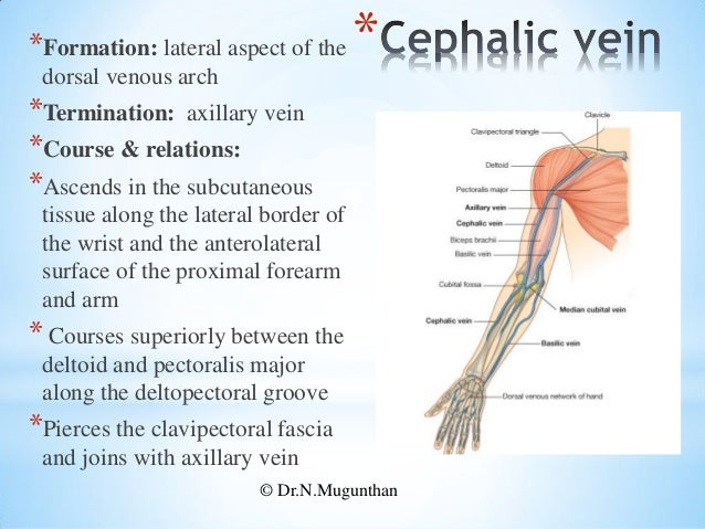 blood vessels of upper limb - pdf lecture notes by dr.n.mugunthan, Cephalic Vein