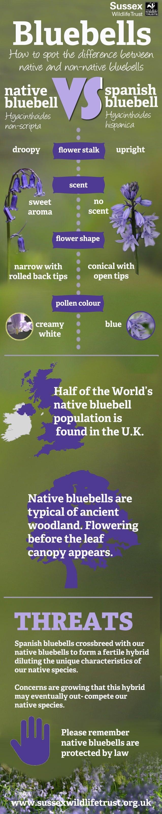 www.sussexwildlifetrust.org.uk BluebellsHowtospotthedifferencebetween nativeandnon-nativebluebells upright scent droopy cr...