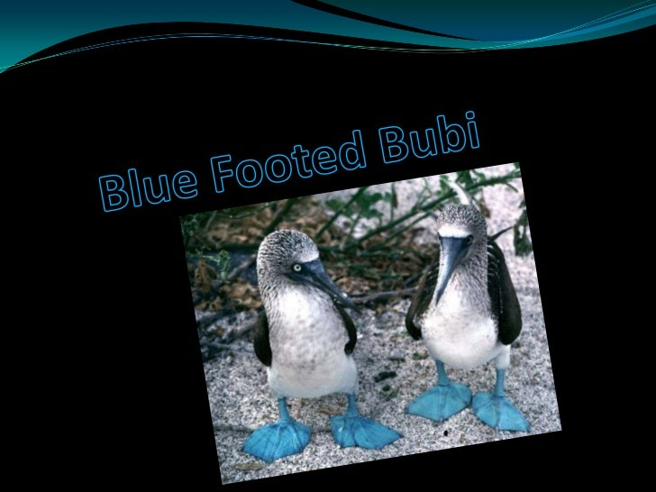 Blue Footed Bubi<br />