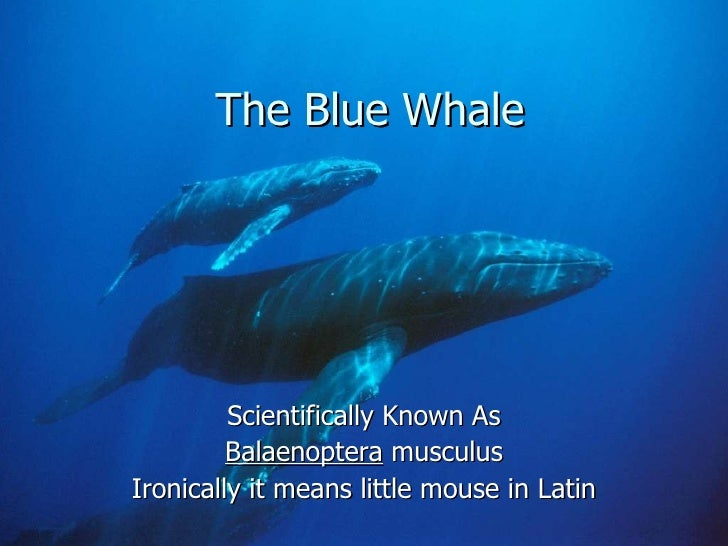 The Blue Whale Scientifically Known As Balaenoptera  musculus Ironically it means little mouse in Latin