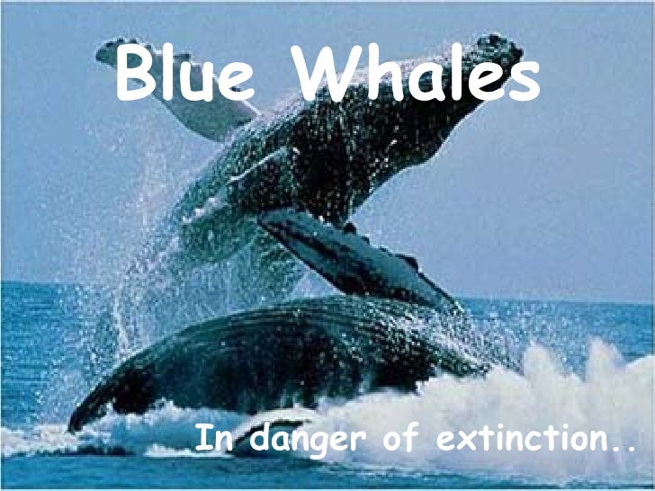 Blue Whales <ul><li>In danger of extinction.. </li></ul>